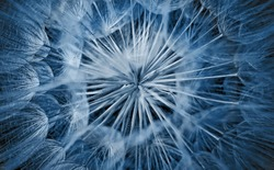 Abstract closeup of blue dandelion seeds background