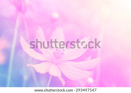 Abstract,  cosmos flowers in soft color and blur style with lens flare  for background.
