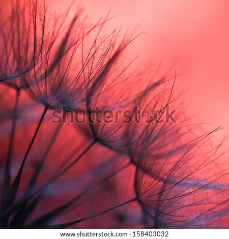 Abstract dandelion flower background, extreme closeup. Big dandelion. Art photography