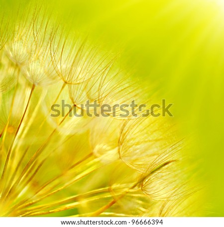 Abstract dandelion flower background, extreme closeup with soft focus, beautiful nature details