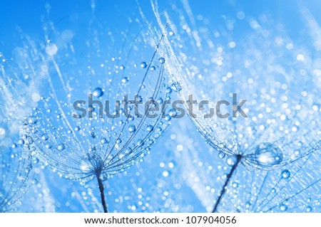 abstract dandelion flower seeds with water drops background