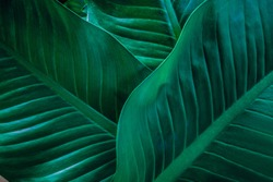 abstract Dieffenbachia leaf texture, nature background, tropical leaf