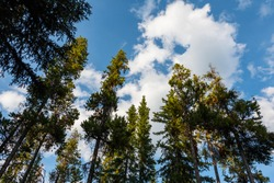 Abstract Face in Puffy Clouds. Looking Up at the Trees and Sky. Cloud Shapes and Patterns Background. Pine Forest Trees and Beautiful Blue Sky Landscape Wallpaper