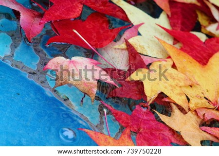 Abstract fall image. Carmine red sweetgum (Liquidambar styraciflua) leaves in blue pool with mosaic bottom.