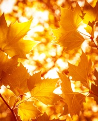 Abstract foliage background, beautiful tree branch in autumnal forest, bright warm sun light, orange dry maple leaves, autumn season