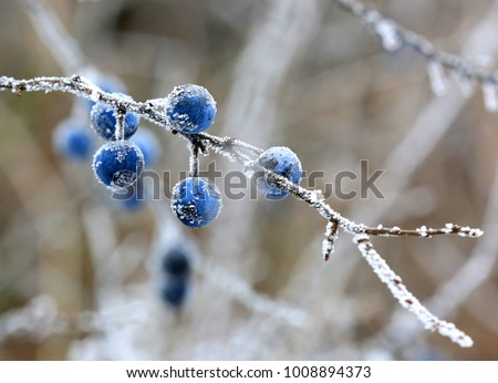 Abstract frozen twig with blackthorn berry #1008894373