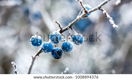 Abstract frozen twig with blackthorn berry #1008894376