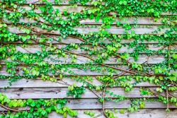 Abstract green leaves of vine on the wooden wall for background,Wood panel texture of wall room, Natural material design for interior and exterior,