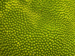 abstract green nature blur background of young jackfruit by closeup texture of spiky skin fruit of jack tree for food or graphic design