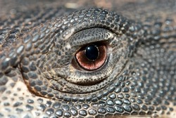 Abstract image of Lace Monitor's eye