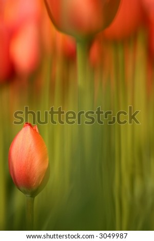 Abstract image, small sharp tulips against a blurred out background of long stemmed tulips