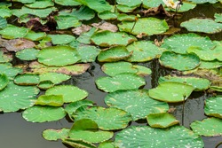 Abstract lotus leaves,lotus with rolling wather drops,water drop on lotus leave after raining,