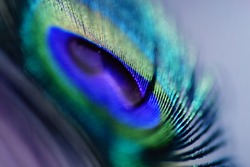 Abstract macro peacock feather, blur, multicolored vivid color