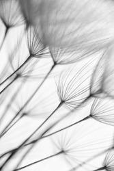 Abstract macro photo of dandelion seeds. Shallow focus.