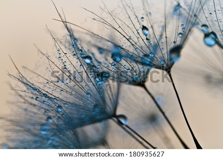 Abstract macro photo of plant seeds with water drops. Big dandelion seed