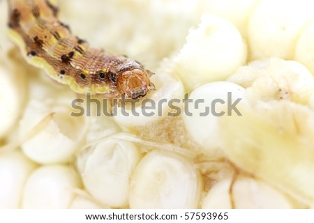Abstract macro with extreme shallow dof of a corn earworm eat fresh white corn on the cob.