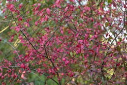 Abstract Medium View of Red Berries and Cute Small Leaves are on Tangled Thin Branches of Tree or Bush. Autumn Season in English Park.