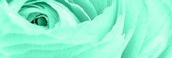 Abstract monochrome backdrop with ranunculus flower in trendy Aqua mint colour toned. COLOR TREND 2020 Aqua Menthe, banner