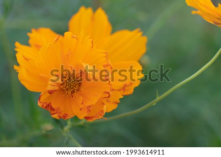 Abstract nature background close-up pollen of cosmos flower orange color blossom in garden. Blurred of branches of green cosmos.