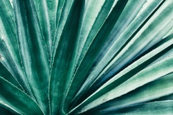 abstract nature background, exotic plant, thorn leaf, dark green toned process.