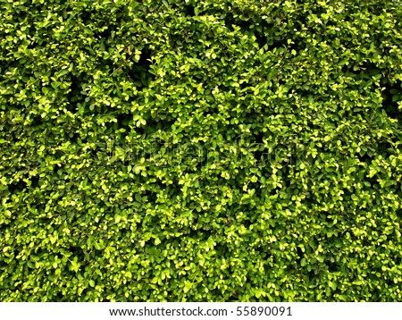 Abstract Nature Background of a Garden Hedge