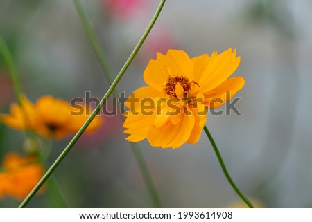 Abstract nature background of cosmos flower orange color blossom in garden. Blurred of branches of green cosmos.