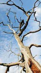 Abstract Nature - Looking up at a Dead Oak Tree