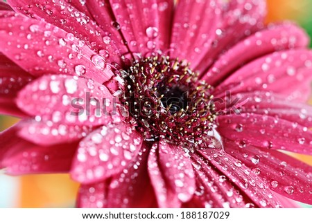 Abstract of a pink gerber daisy macro with water droplets on the petals.. Extreme shallow depth of field.