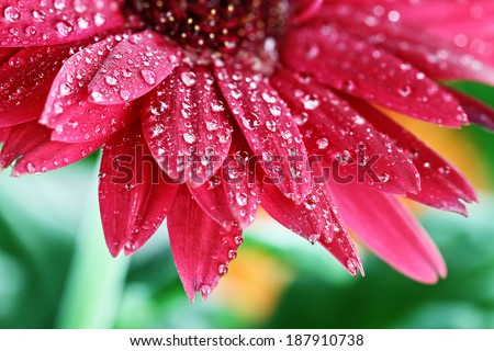 Abstract of a red Gerber daisy macro with water droplets on the petals.. Extreme shallow depth of field.
