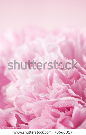 Abstract pink peony flower background