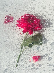 Abstract pink rose under glass plate with water drops and splash on light background. Pink flower and pink petals. Abstract floral aesthetic. Artistic flower. Drops and blobs pattern. water surface