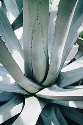 Abstract plant patterns - Agave closeup. Peaceful, balanced structures in nature make perfect greenery wallpaper. Blue-green colored Agave americana abstract background