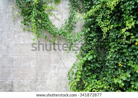 Abstract plant wall background, The Green creeper plant with small yellow flower on grunge old house wall