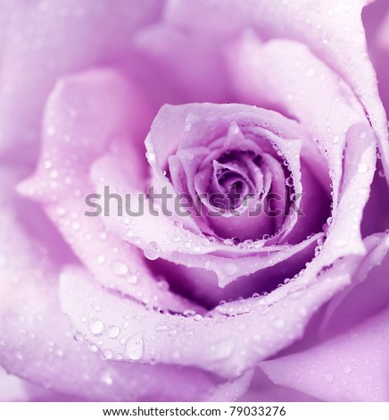 Abstract purple wet rose background, beautiful macro flower with morning dew