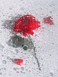 Abstract red rose under glass plate with water drops and splash on light background. Red flower and red petals. Abstract floral aesthetic. Artistic flower. Drops and blobs pattern. Water surface