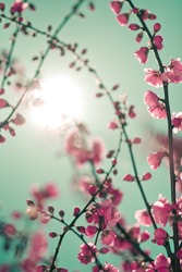 Abstract soft background with cherry blossom and sunlight in shot. Selective focus image