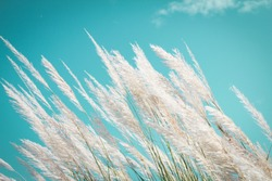 abstract softness white Feather Grass with retro sky blue background and space
