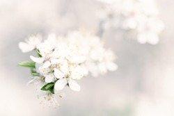 Abstract spring seasonal background with white flowers, natural easter floral image with copy space