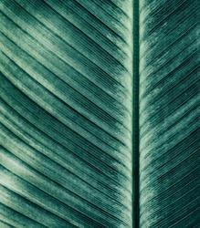 Abstract striped natural background, Details of banana leaf, Vintage tone