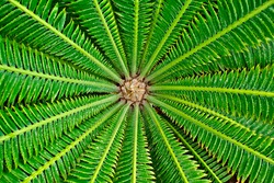 Abstract symmetrical leaves of a sago palm. Radial symmetry in nature.