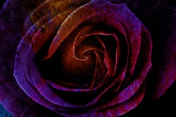 Abstract textured background of colorful rose close up in dark purple and pink colors with cracks and rust effect