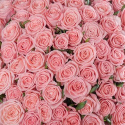 Abstract textured pale pink roses floral backdrop. A bed of pale pink roses for background or gift wrapping. Wedding, anniversary decoration festive floral background. Square photo.
