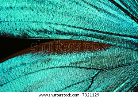 Abstract turquoise texture of shiny butterfly wings - morpho
