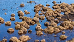 Abstract view for peat bog plants. Fluffy beautiful grass peat bog at blue swamp lake water. Blue wetland with brown puffy spongy mesh of moss.