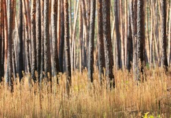 abstract view on pine tree trunks in sunny forest