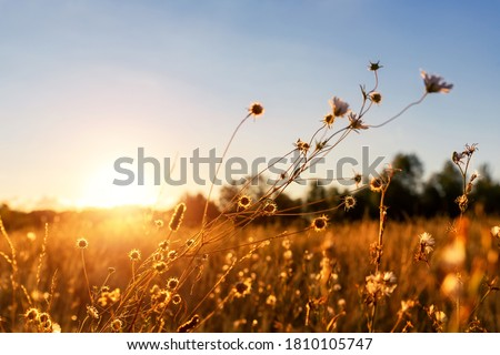 Photo of  Abstract warm landscape of dry wildflower and grass meadow on warm golden hour sunset or sunrise time. Tranquil autumn fall nature field background. Soft shallow focus