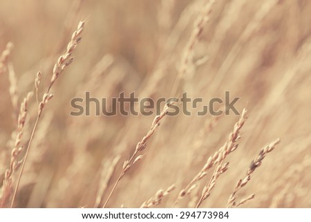 Abstract wheat field. Selective focus is used. Close-up showing texture and detail.