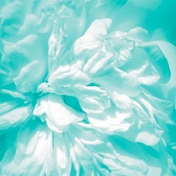 Abstract white baby blue color on soft rose petal texture background - black and white pale teal to turquoise tinted high key macro photograph