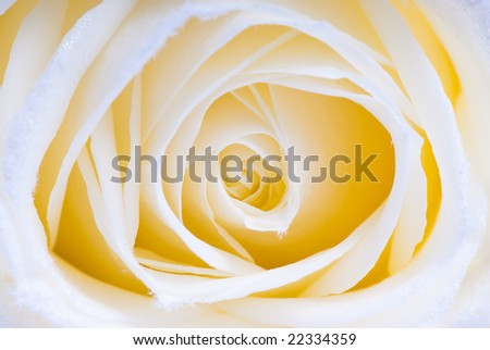 abstract white rose macro with smooth yellow touch