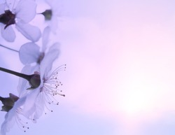 Abstract White spring flowers on a sunrise soft blue and pink sky background. Spring border template floral background image, free space.